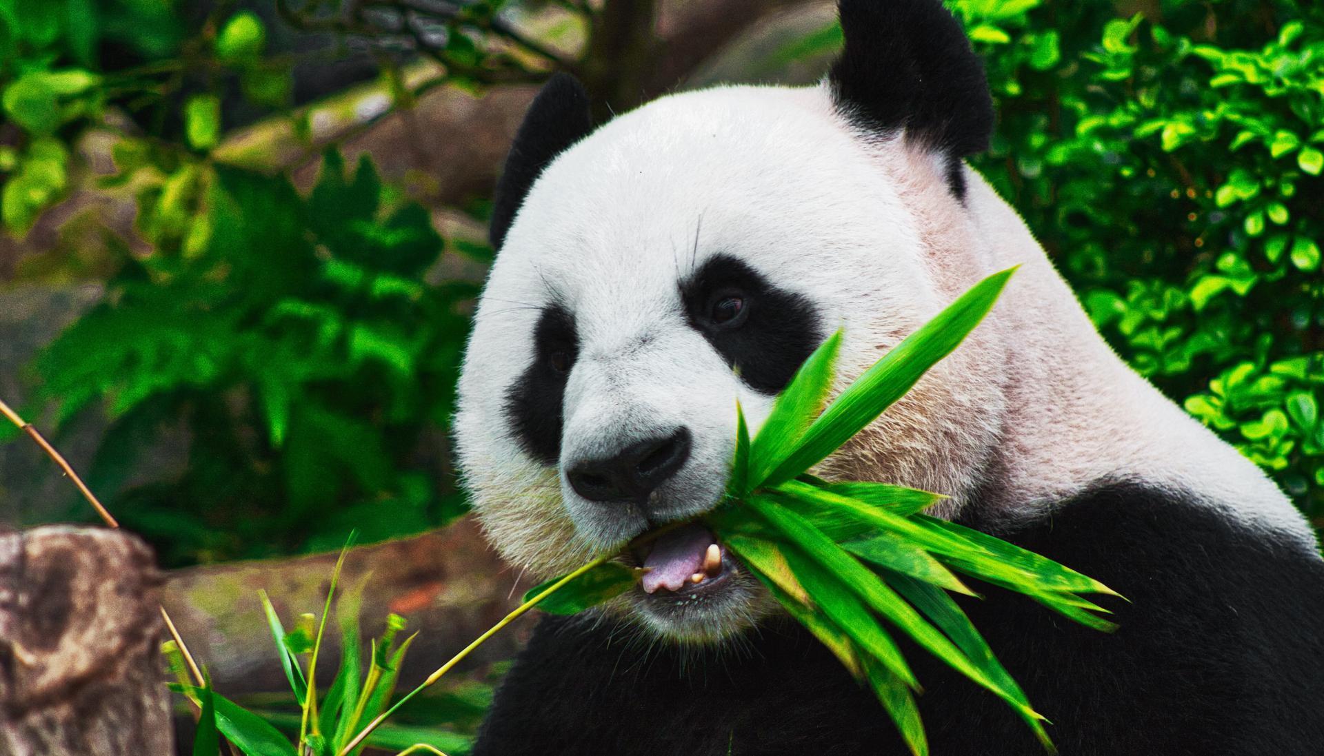 Панди більше не вимирають